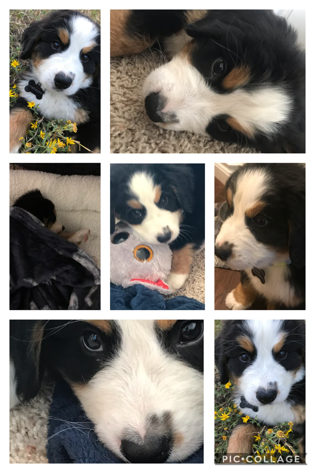 🐾💞Tap💞🐾                         Got a new puppy!!! He is a Bernies Mountain dog, and is 7 weeks old! His name is Teddy 🥺💕🐾