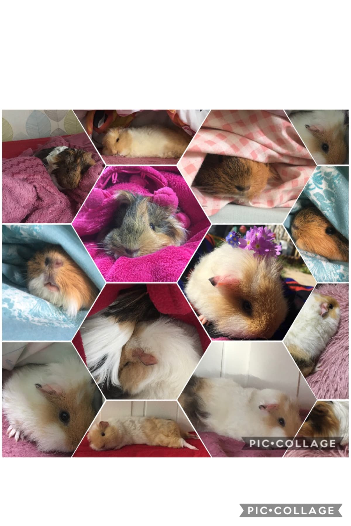 These are my favourite pictures of my guinea pigs Stay safe everyone ❤️❤️❤️