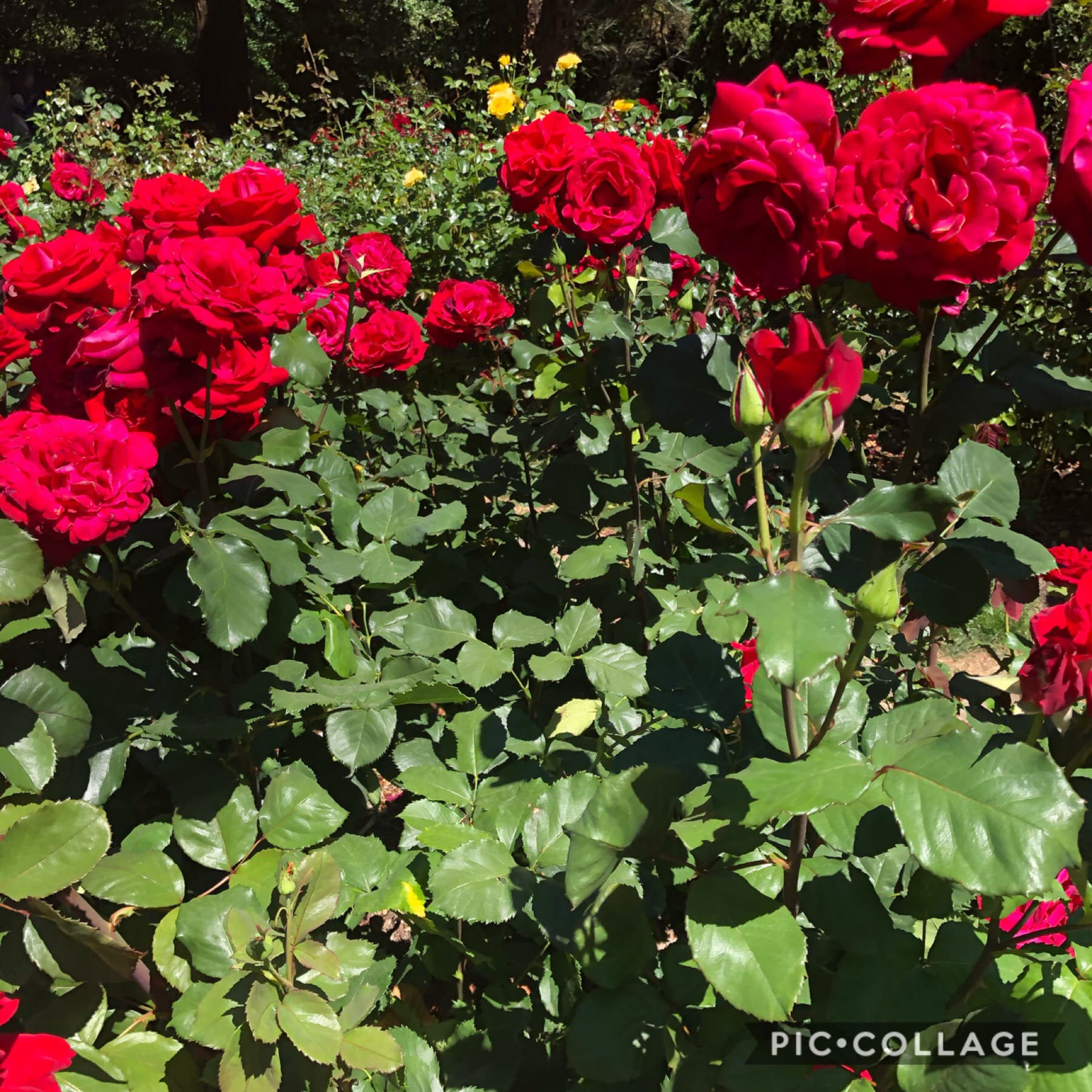 🌈🌈hey ppl I'm back lol, I havnt been on here for months and I feel vv sad to not go on this app bc I feel emotionally attached to it bc I've had it for so long. I went on a road trip and here's a pic of roses I took, anyways I'm more active on insta so if