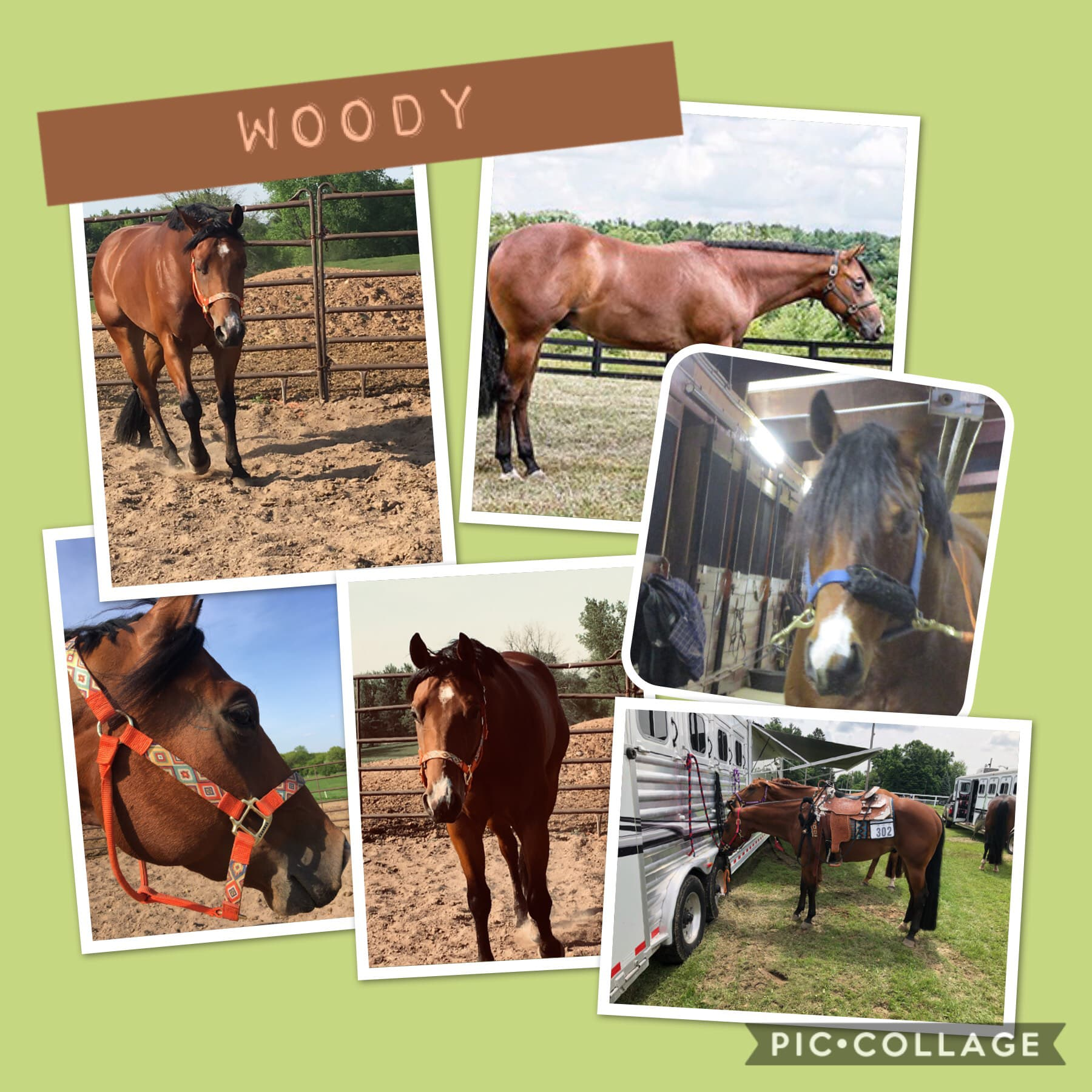 Woody is our Mom's show horse! He is also very playful and Albert tires him out! This year is going to be his second show year❤️