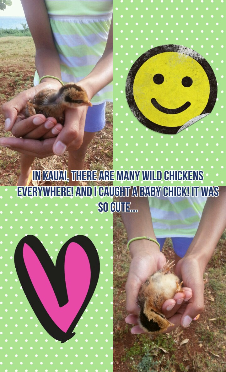 In Kauai, there are many wild chickens everywhere! And I caught a baby chick! It was so cute...