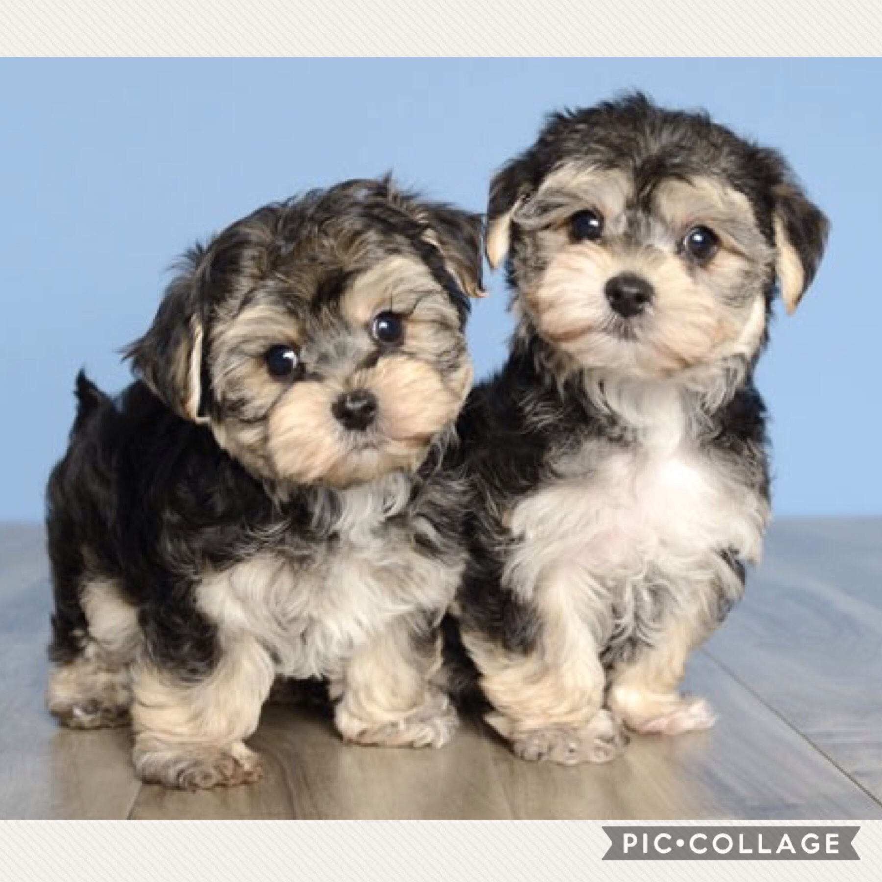 Look at my to new puppies # got them today