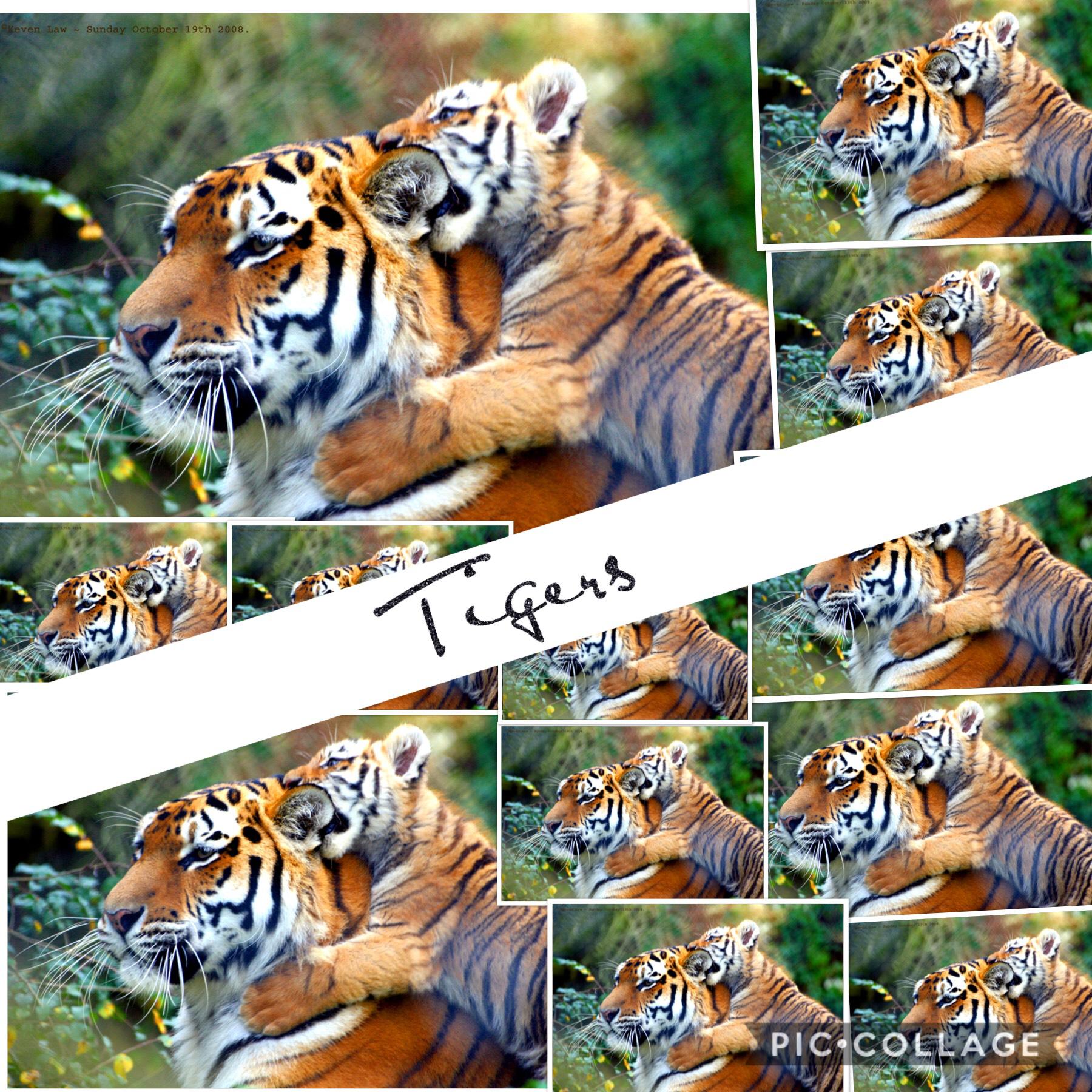 Tigers! 🐅