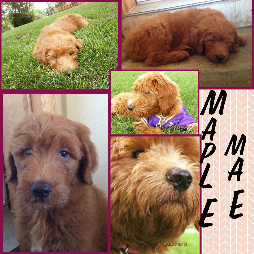 My puppy Maple Mae 😍🐶🍁
