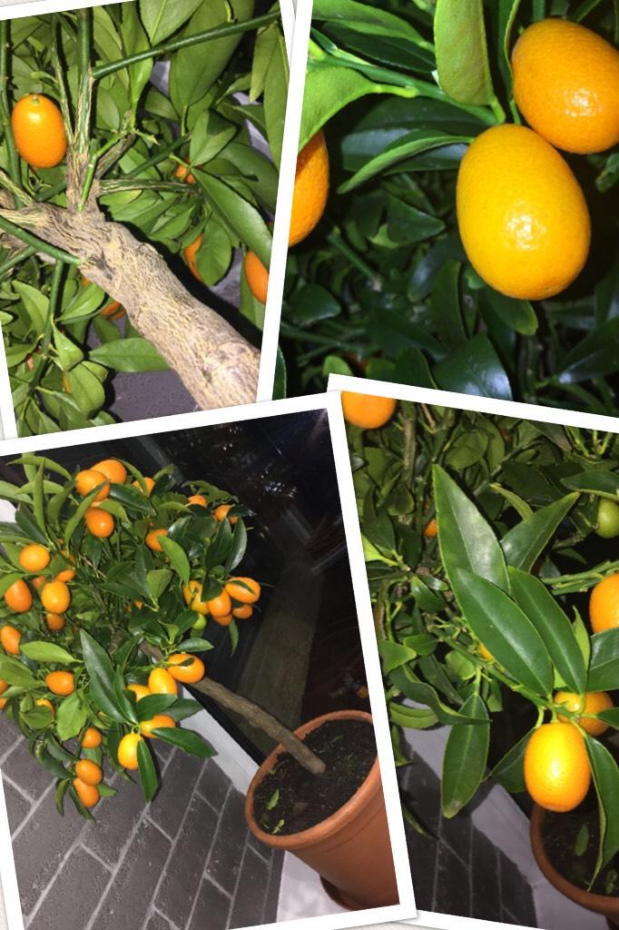 Growing a Orange tree 🌲