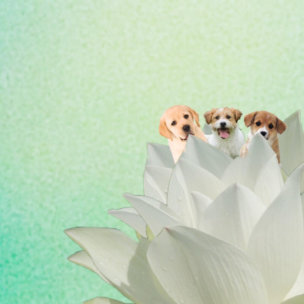 Lotus dogs