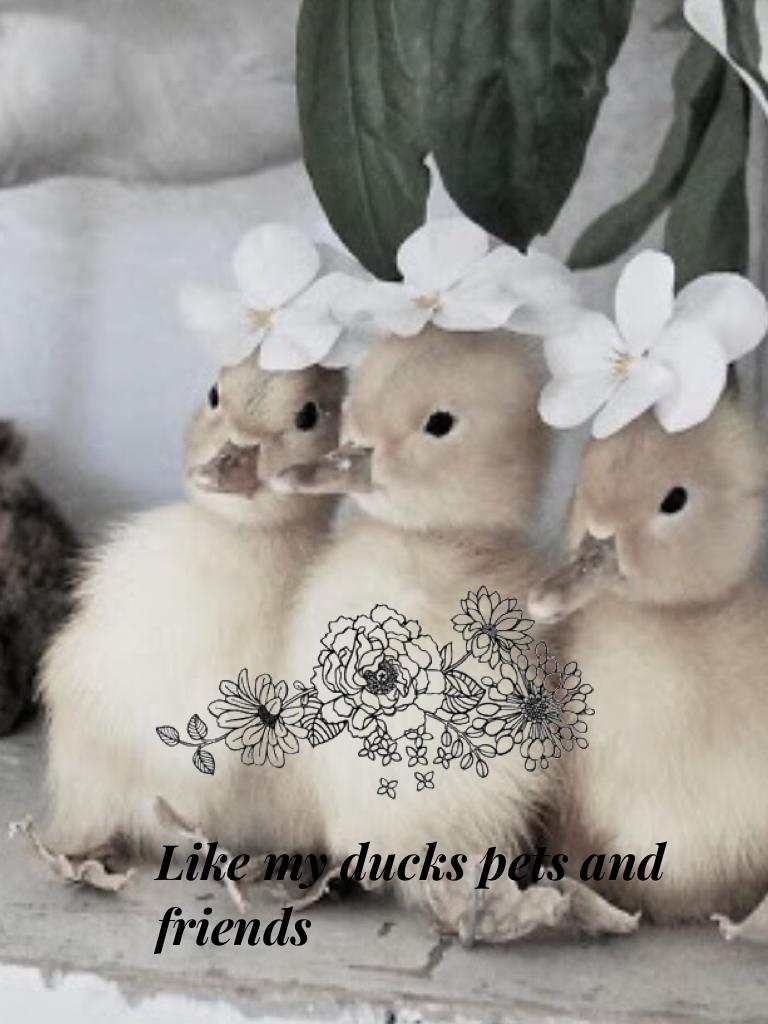 Like my ducks pets and friends Josie,bob and Amelia