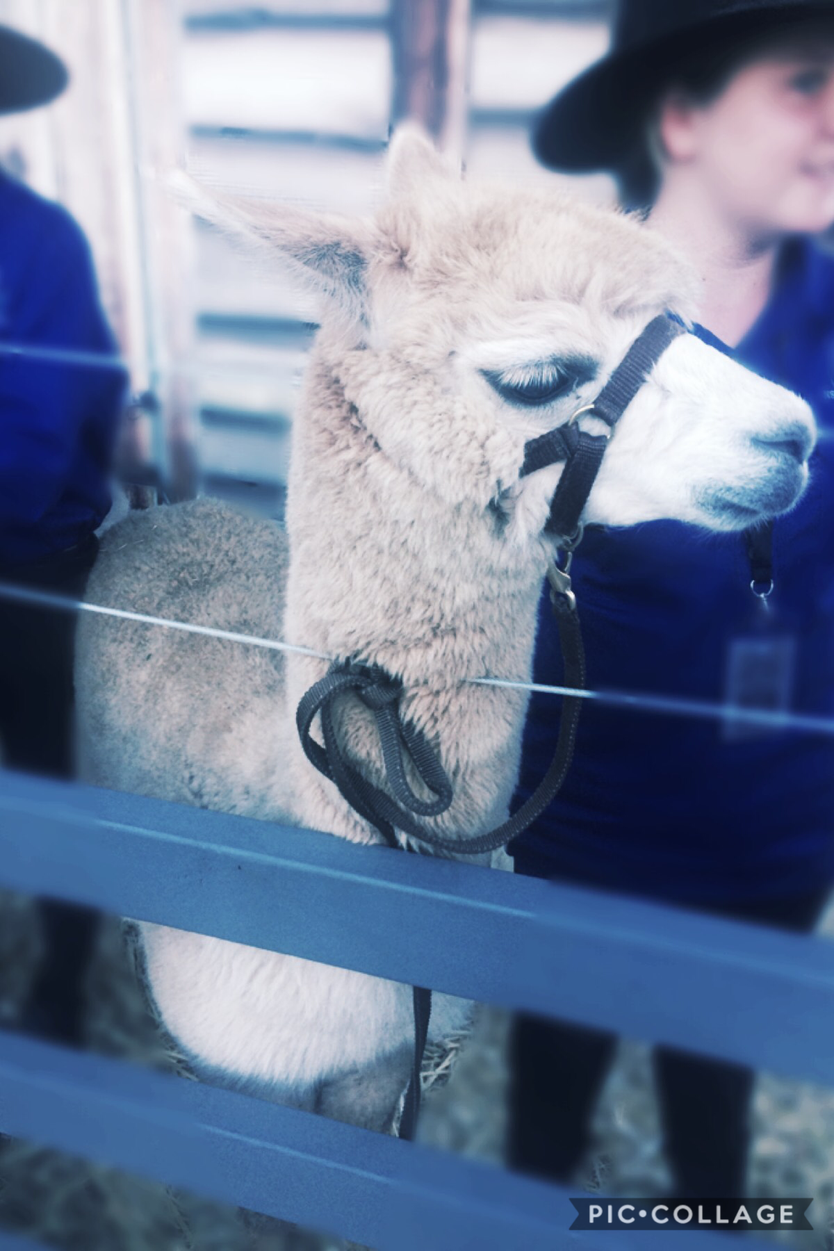 #17 Whoa y'all I met an alpaca! It was amazing! And luckily it didn't spit at me 😂 if you don't like alpacas, I don't know what is wrong with you...  jkkkk