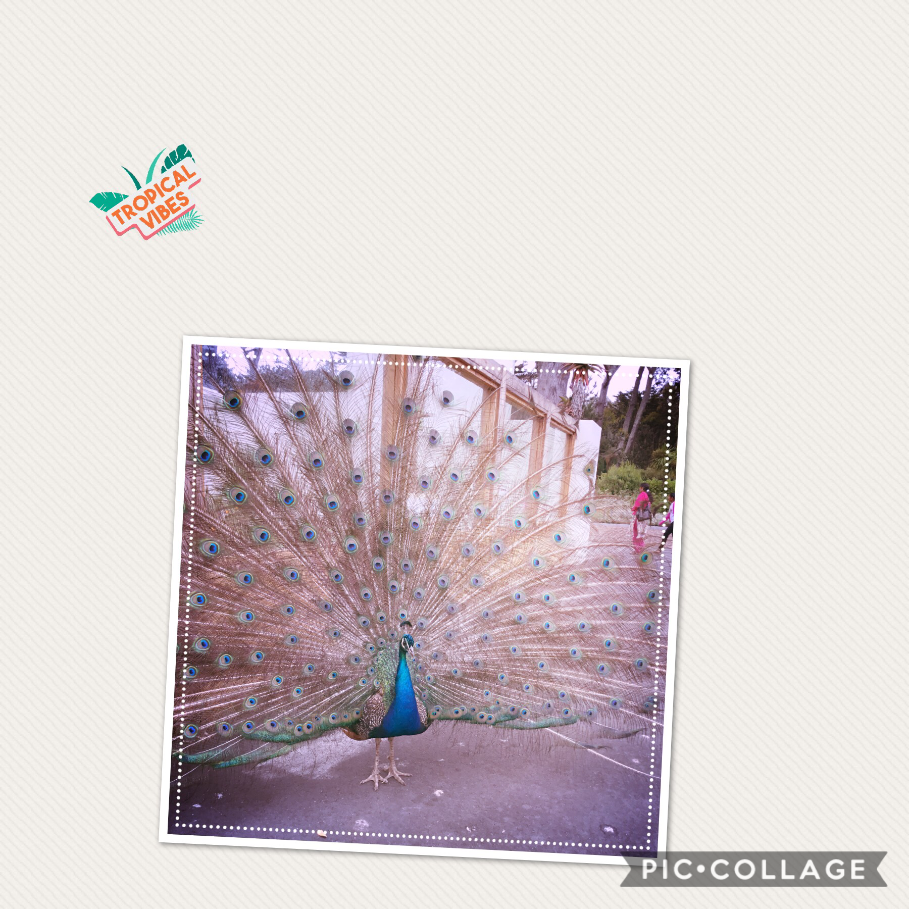 Beautiful peacock at the zoo love it it's absolutely gorgeous