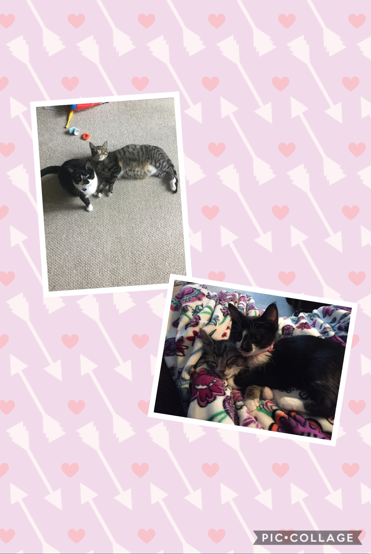 I can't believe how fast these kittens grow! That is how small they were and now they are huge! They are only 1 year old!!