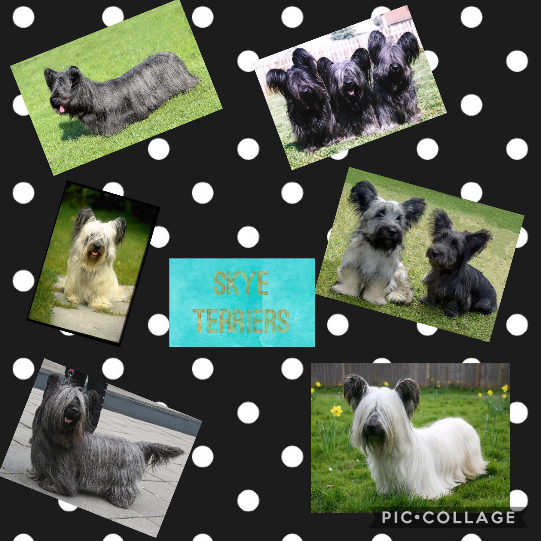 🐶(Tap)🐶 Skye Terriers are dogs. You might not have heard of them. They are like a cross between a sausage dog and a sheltie! They are really rare. They are more few in numbers that the giant panda I heard from an owner of one of these dogs. They are reall