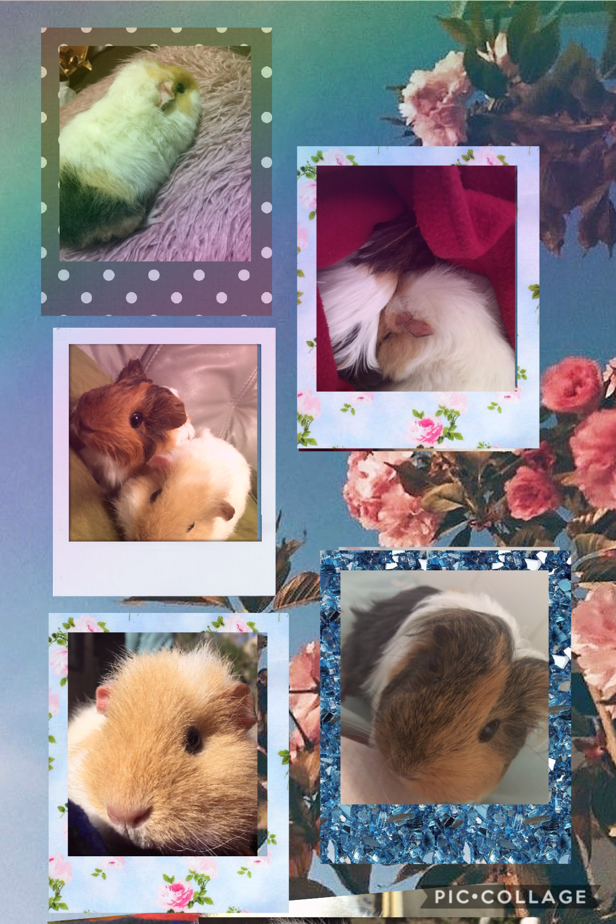 These are my pets the top left is called blossom ❤️ and the bottom right is called nutty ❤️ I got them as a present for my birthday and I think they are just sooo adorable ❤️