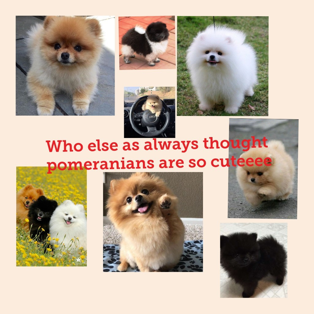 Who else as always thought pomeranians are so cuteeee
