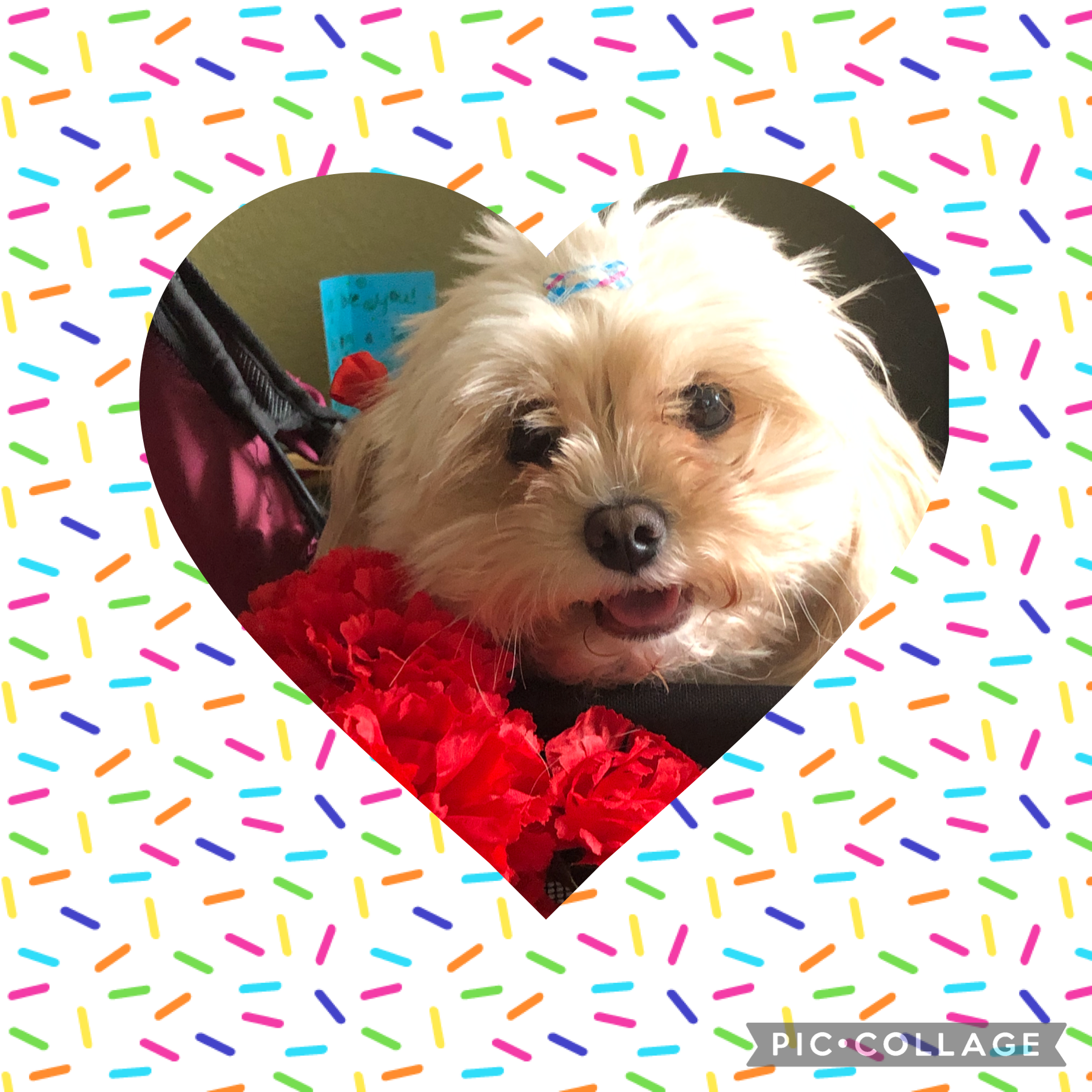 This is Callie my dads dog. She's in her doggie stroller with some fake flowers that she likes the nibble on😆
